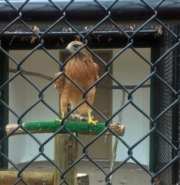W38 Falcon