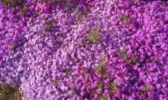 W38 Purple Flowers